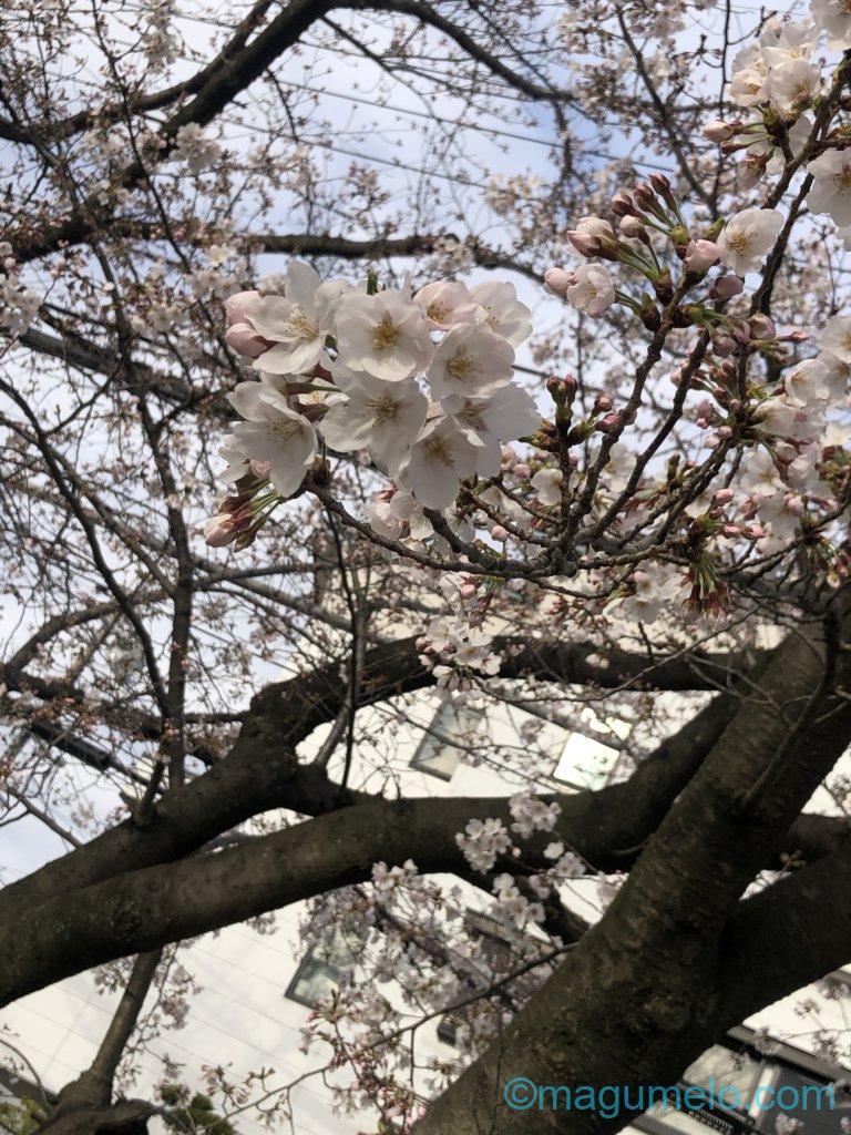 00414B59 076C 4D14 B07A B0D43B642D87 768x1024 - 今年の桜は