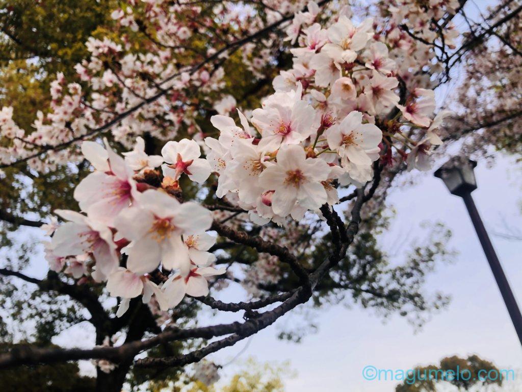 320A587A 1AA6 4507 8FE2 C2345D06ECF4 1024x768 - 今年の桜は