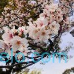 320A587A 1AA6 4507 8FE2 C2345D06ECF4 150x150 - 今年の桜は