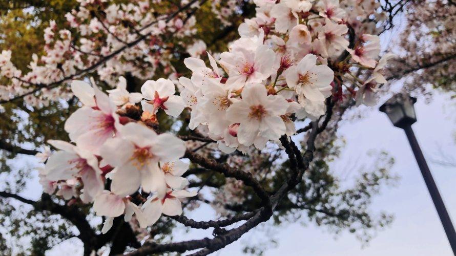 320A587A 1AA6 4507 8FE2 C2345D06ECF4 890x500 - 今年の桜は